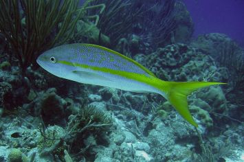 yellowtail snapper, the Bahamas