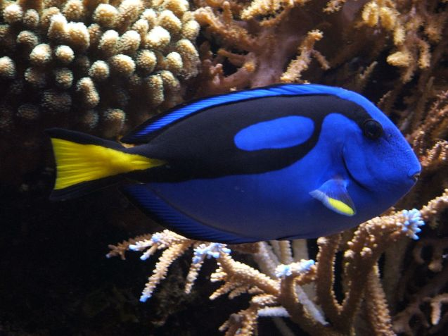 blue tang, the Bahamas
