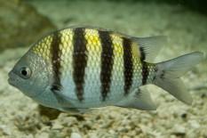 sergeant major fish, the Bahamas