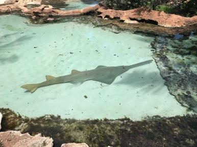 sawtooth fish, Atlantis, bahamas