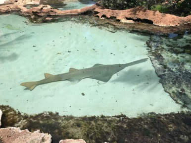 sawtooth fish, Atlantis, bahamas